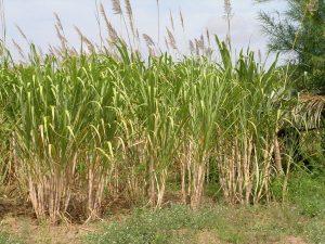 maio-good-for-farming-crops