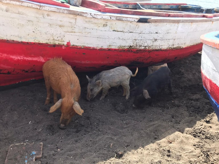 wild pigs are found on maio